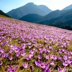 Krokusowe szaleństwo – czyli krokusy w Tatrach