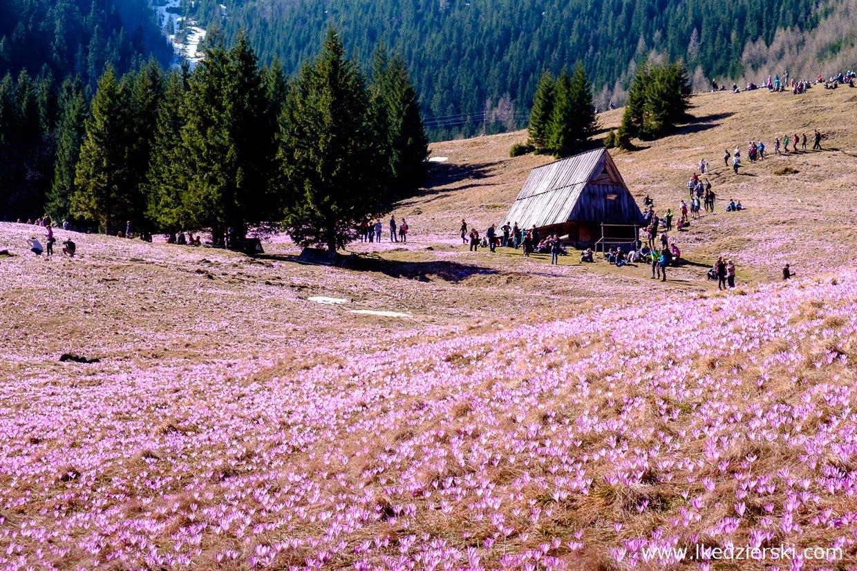 polana kalatówki krokusy w tatrach