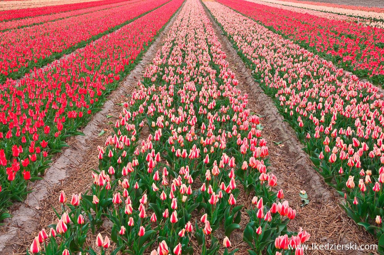 holandia atrakcje tulipany atrakcje holandii