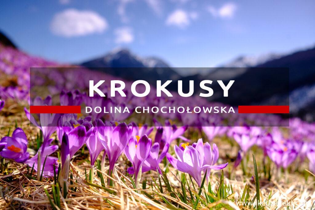 krokusy dolina chochołowska krokusy w dolinie chochołowskiej