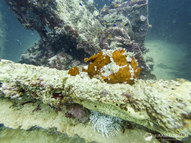 seszele nurkowanie frog fish