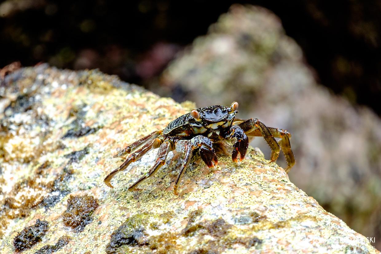 praslin plaża anse georgette beach seychelles crab