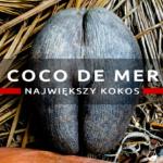 """Coco de mer – """"piękne pośladki"""" – największy kokos świata"""