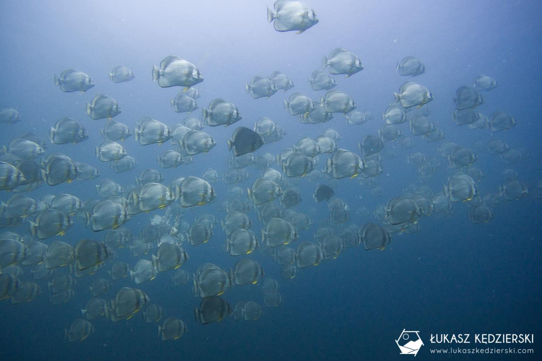 nurkowanie na seszelach diving seychelles mahe praslin Plataks pospolity Platax orbicularis