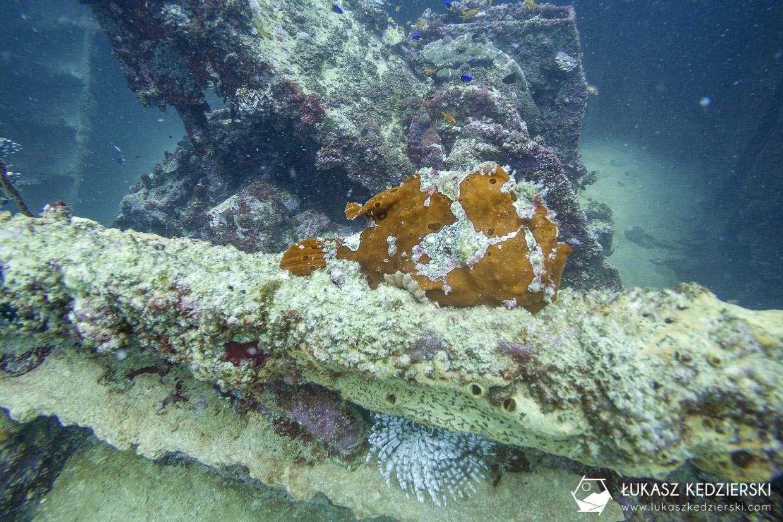 nurkowanie na seszelach diving seychelles mahe praslin Frog fish