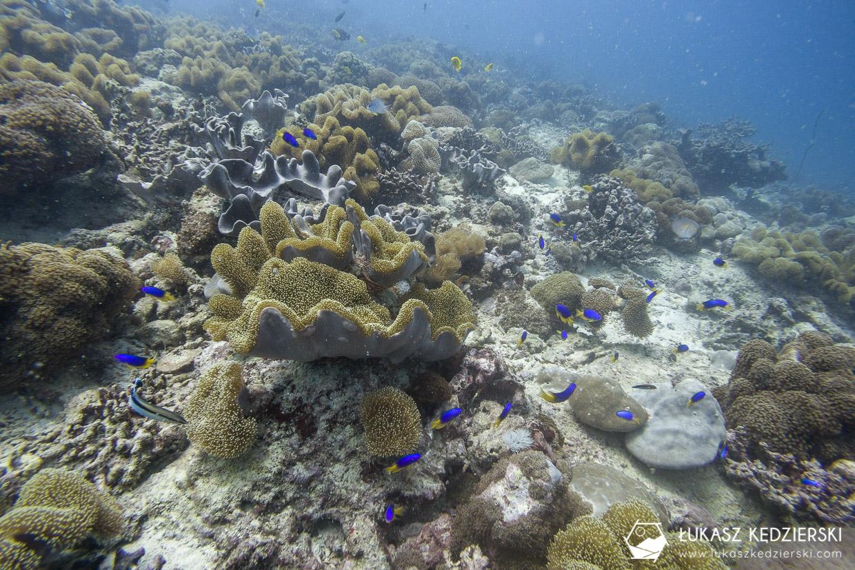 nurkowanie na seszelach diving seychelles mahe praslin Pomacentrus caeruleus