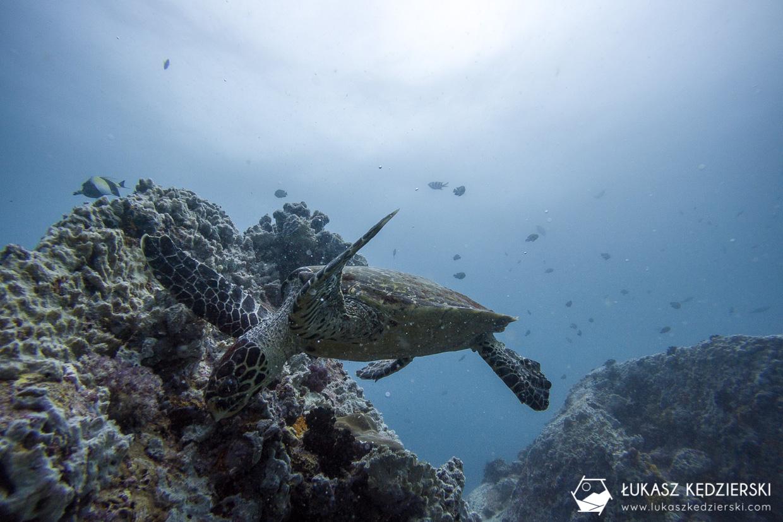 nurkowanie na seszelach diving seychelles mahe praslin Żółw szylkretowy Eretmochelys imbricata