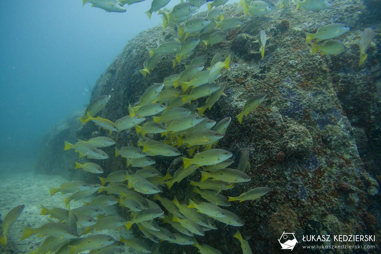 nurkowanie na seszelach diving seychelles mahe praslin Lutjanus - Lutjanus fulviflamma