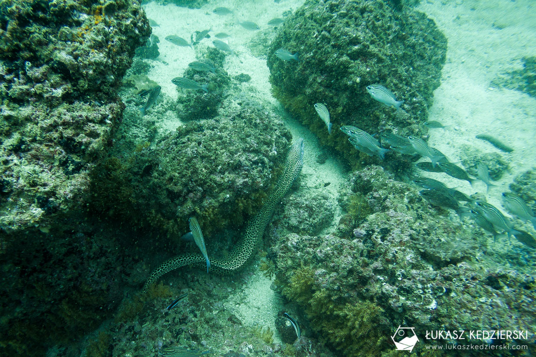 nurkowanie w omanie oman diving as sifah Murena cętkowana Gymnothorax favagineus