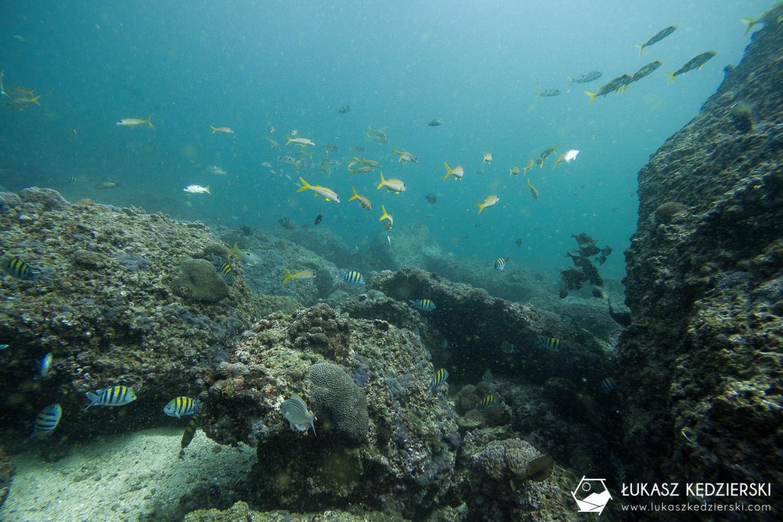nurkowanie w omanie oman diving as sifah Abudefduf vaigiensis, Indo-Pacific sergeant