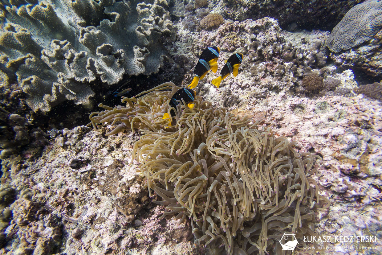 nurkowanie w omanie oman diving as sifah Amphiprion clarkii