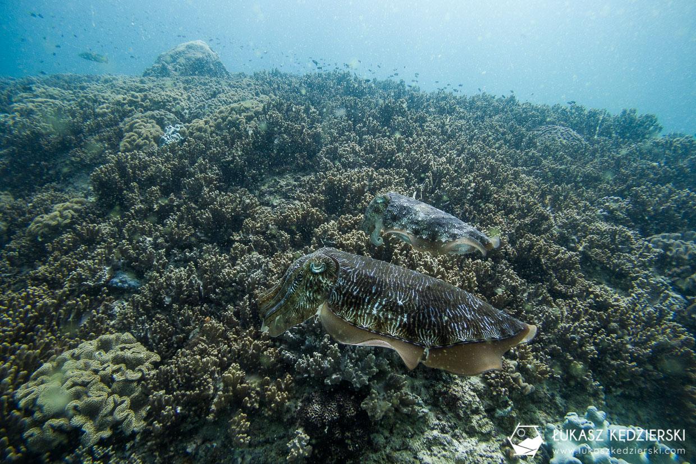 nurkowanie w omanie oman diving as sifah cuttlefish mątwa