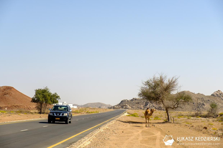 podróż do omanu wielbłąd