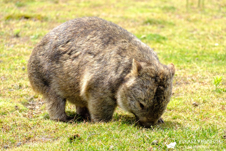 australia informacje praktyczne wombat