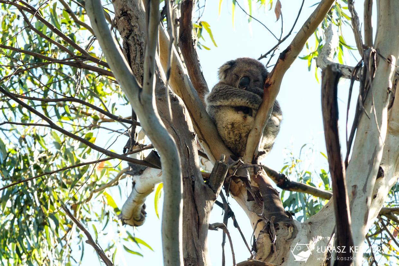 atrakcje great ocean road koala Kennett River