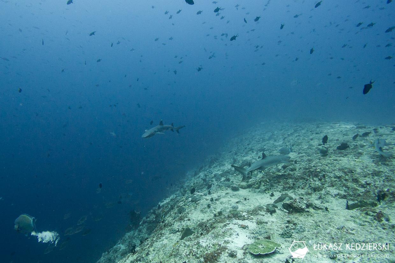 nurkowanie z rekinami na malediwach malediwy nurkowanie rekiny Miyaru Kandu Fulidhoo Vaavu Atoll rekin rafowy białopłetwy Whitetip reef shark rekin rafowy czarnopłetwy Blacktip reef shark rekin szary rafowy Grey reef shark