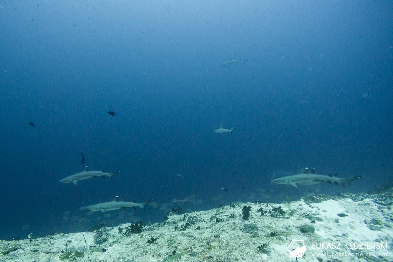 fulidhoo nurkowanie z rekinami na malediwach malediwy nurkowanie rekiny Miyaru Kandu Fulidhoo Vaavu Atoll rekin rafowy białopłetwy Whitetip reef shark rekin rafowy czarnopłetwy Blacktip reef shark rekin szary rafowy Grey reef shark