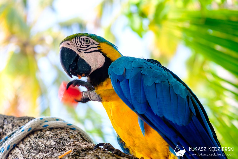 malediwy maafushi lokalna wyspa papuga