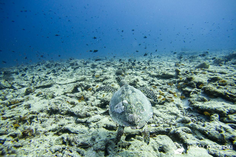 nurkowanie na malediwach thulusdhoo żółw turtle diving